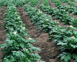 Скручивание листьев картофеля