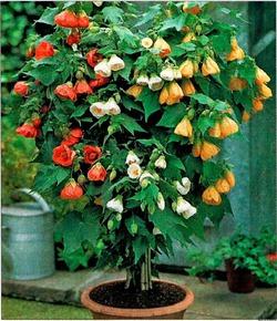 Яркие цветки Абутилона