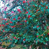 Зимние ягоды Падуба