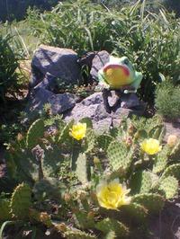 Опунция садовая или садовый кактус