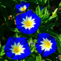 Цветок на один день