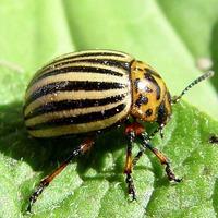 Как эффективно бороться с колорадским жуком