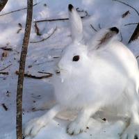 Защита садовых деревьев от зайцев