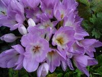 Безвременник - осеннее чудо в саду