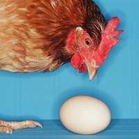 Расклев яиц у кур
