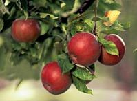 Обрезка яблони. Часть 1