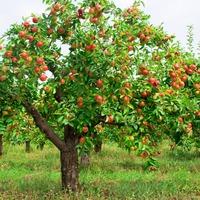 Обрезка яблони. Часть 2
