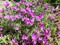 Обриета -чудесное почвопокровное растение