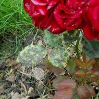 Защита роз от ржавчины