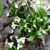 31 января, подснежники цветут, а 7 февраля зима вернулась (дополнено)