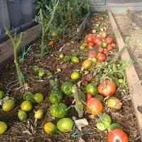 Моя томатная история, или-пасынкам новую жизнь!
