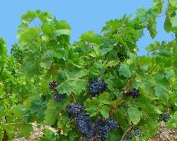 Виноград скальный