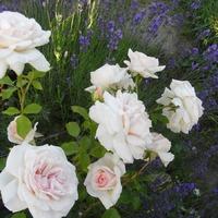 Мой июльский сад в розово-сиреневых тонах