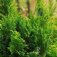 Вечнозелёный Кипарисовик