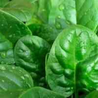 Шпинат и шпинатные растения