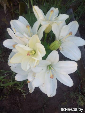 Как определить сорт лилии