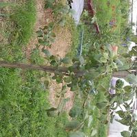 Яблонька (уже с фото)