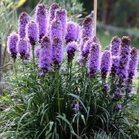 Пурпурные колосья Лиатриса