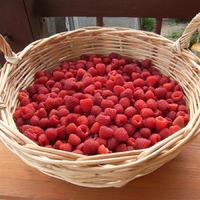 Любимая ягода наших садов - малина.