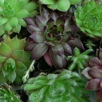 Подскажите, как выращивать суккуленты в открытом грунте?
