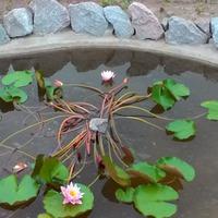 Как цветет водяная лилия в нашем водоеме. Правда прелесть?