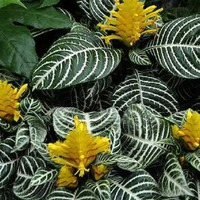 Полосатые листья Афеландры
