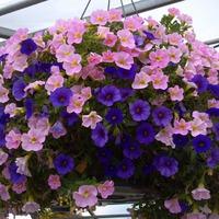 Украшаем сад: ампельные растения
