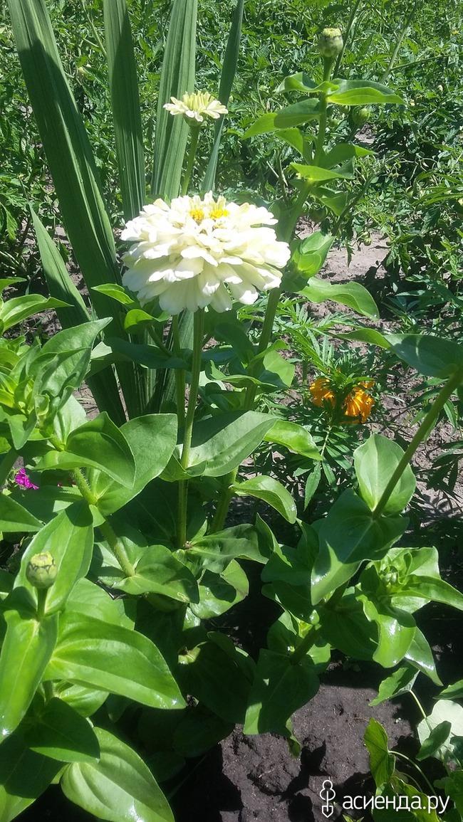 Чисто русский цветок