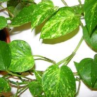 Пятнистые листья Сциндапсуса