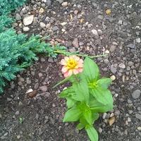 И моя Циния цветет!