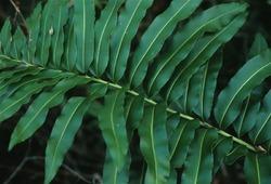 Акростихум - обитатель мангровых зарослей
