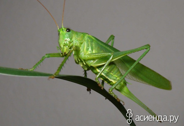 фото зелёного кузнечика