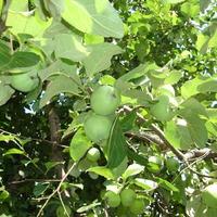 Сплющенность веток яблони