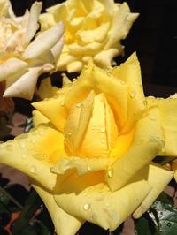 Лучшая пора для черенкования роз подходит к концу- спешите!!!