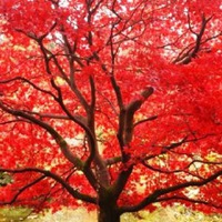 Железное дерево – украшение осени
