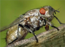 Зловредная весенняя капустная муха