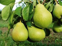Ржавчина яблонь и груш
