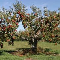 Пролиферация яблони