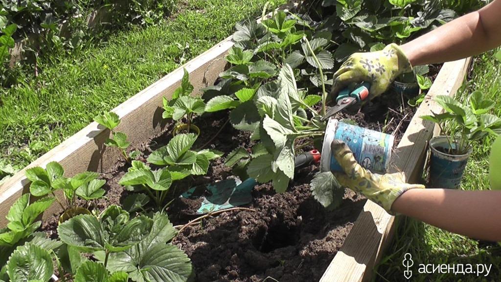 Клубника садовая уход в августе