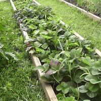 Уход за садовой земляникой (клубникой) в июле — августе.