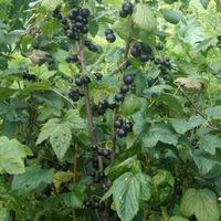 Общеукрепляющие растения. Часть 2