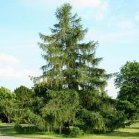 Лиственница – летнезелёный хвойник