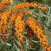 Витаминные ягоды Облепихи