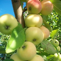 Что с яблоней?