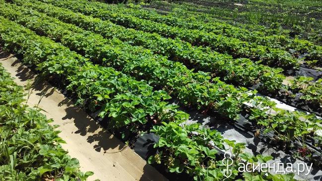 Клубника или земляника - посадка, выращивание и уход. Сорта