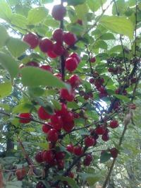 Необыкновенная вишня