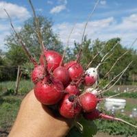 Редиска-селфи или первый раз выращиваю редиску.