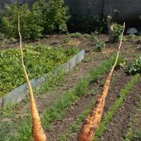Подзимый посев или очередной эксперимент. Корнеплоды и пряные травы