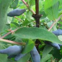 Первые ягоды жимолости