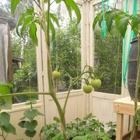 Мои растения на грядках-колбасках в теплице